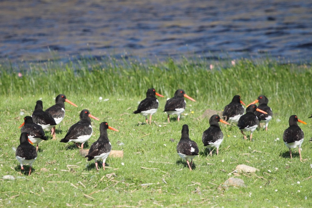 Oystercatchers...
