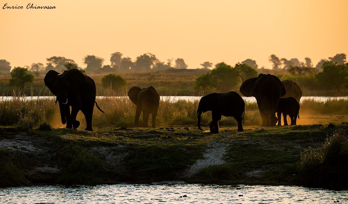 Elefanti al Chobe...