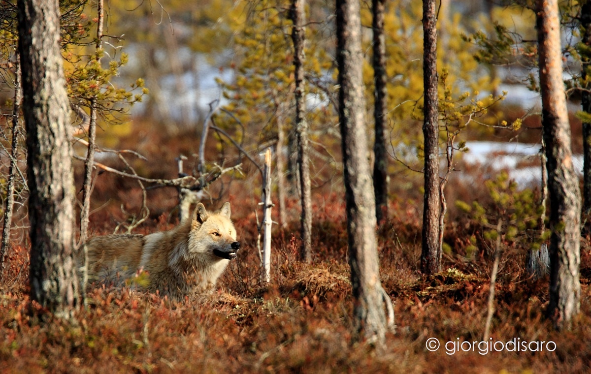 Wolf at the edge of the forest...