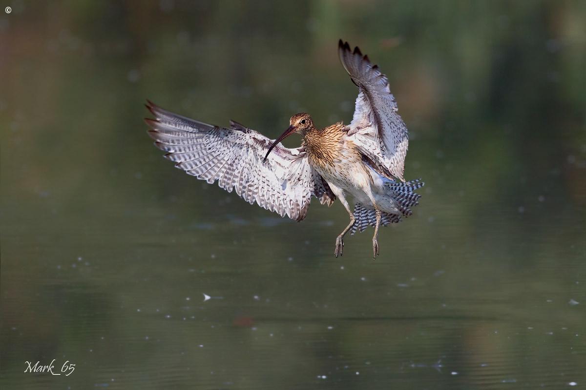 Eurasian Curlew...