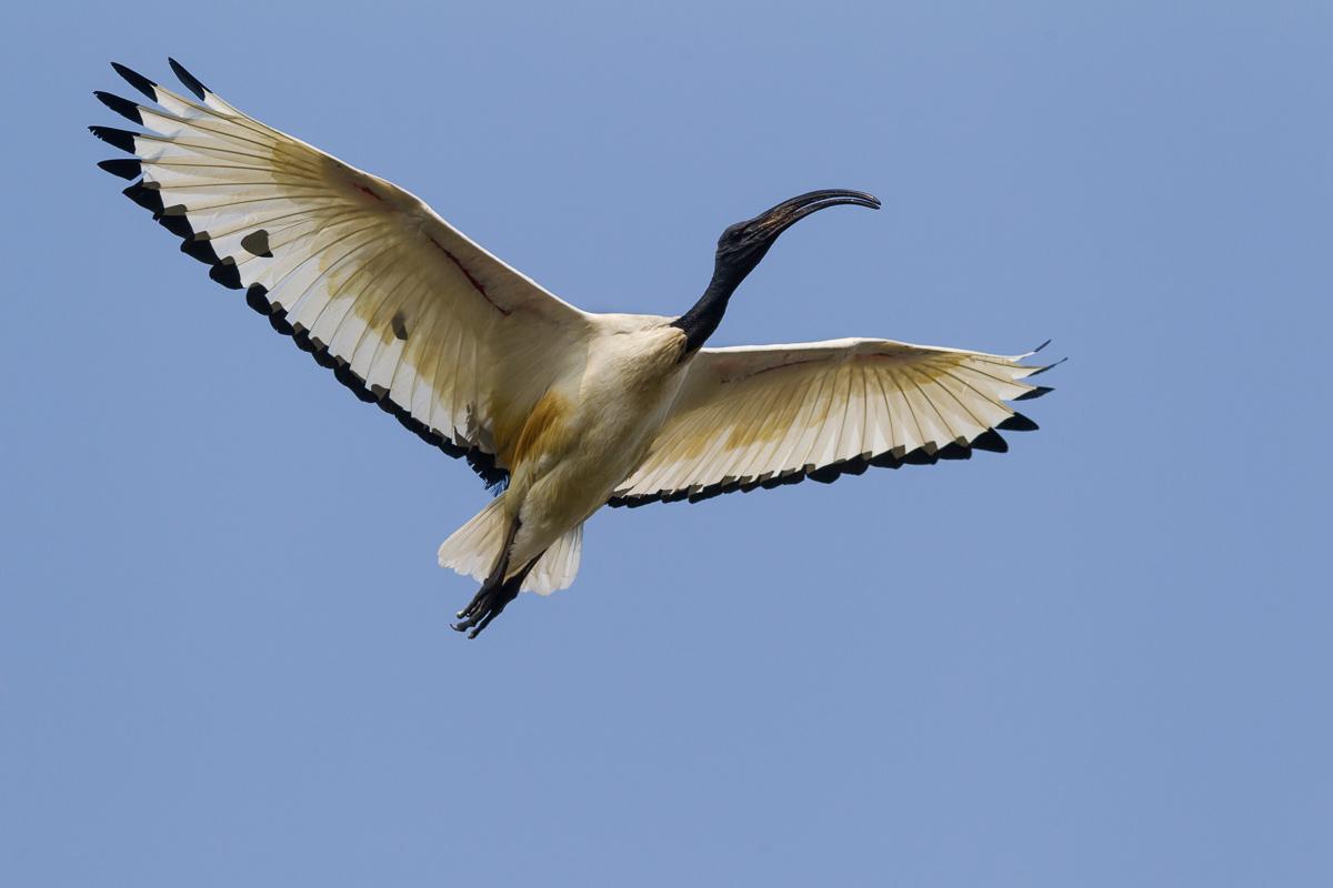 Ibis sacro in volo......