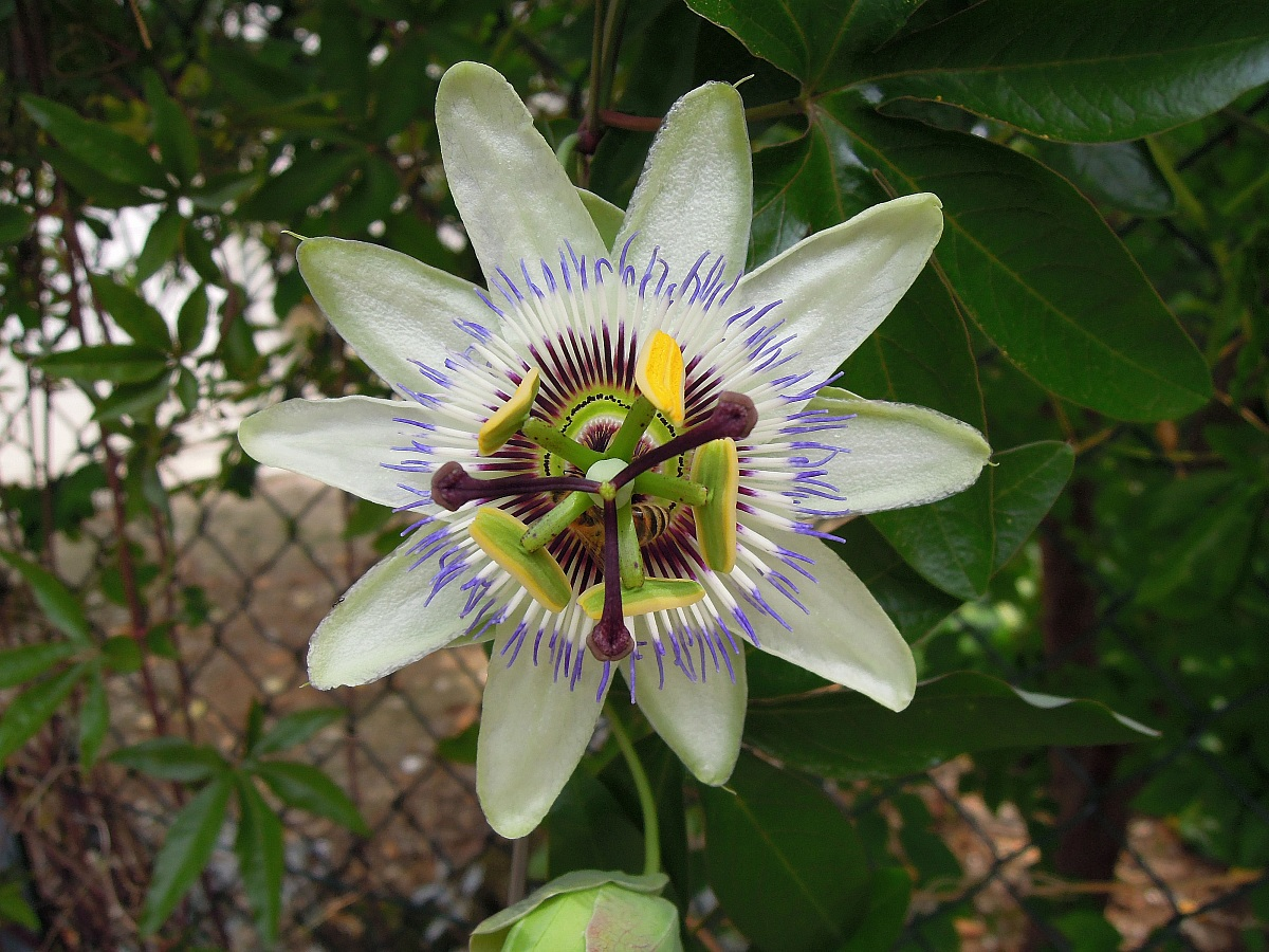 passionflower with the coolpix...