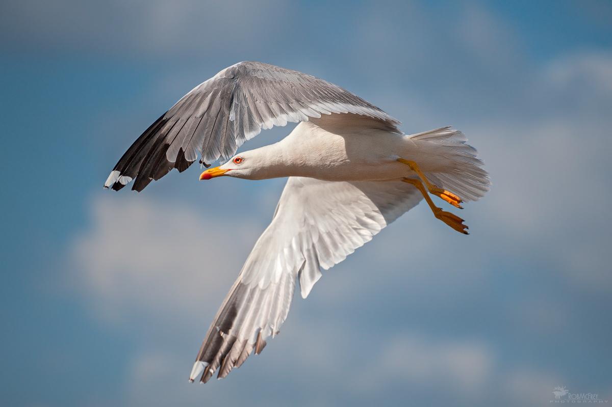 Herring Gulls...