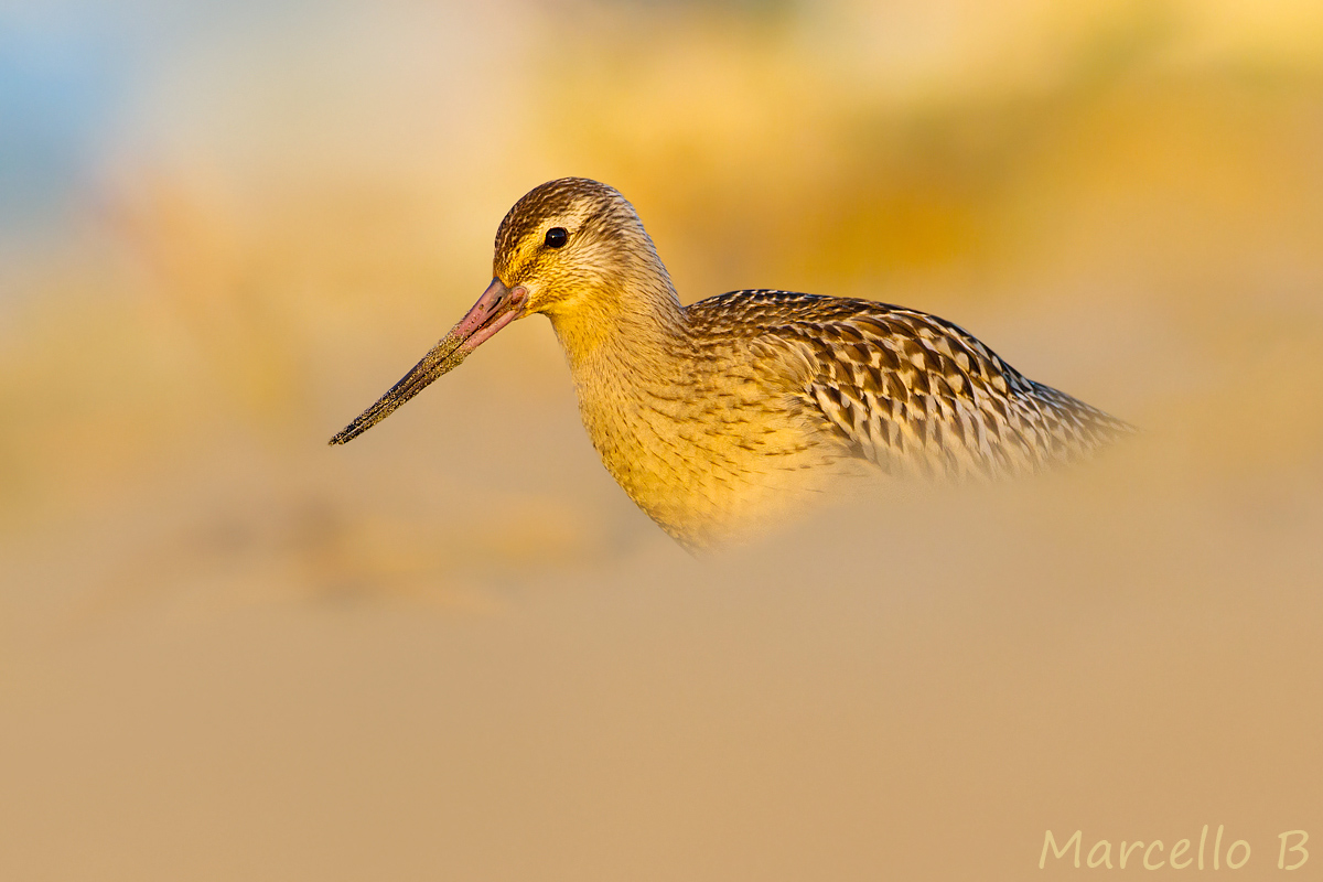Bar-tailed Godwit...