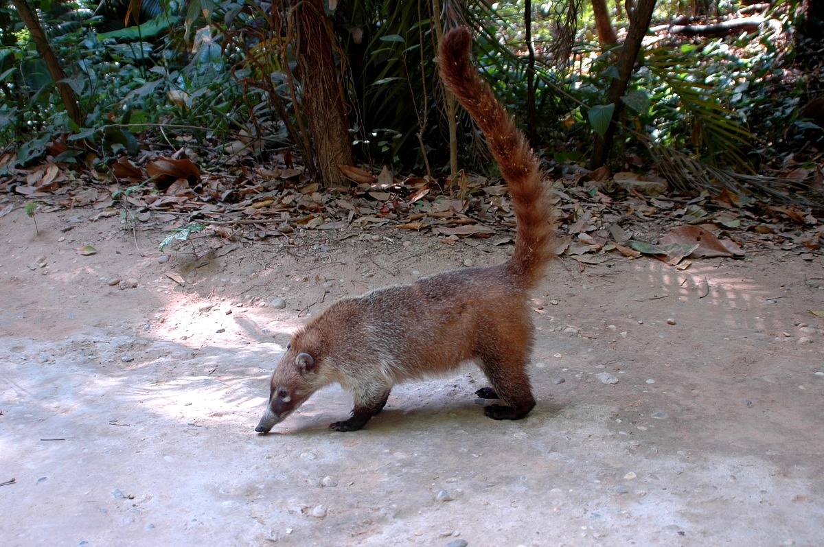 Coati (Nasua narica)...