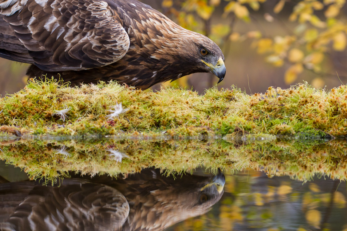 Golden Eagle by the pond!...