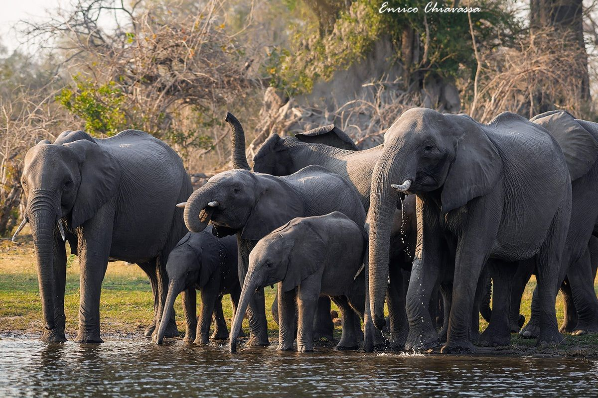 Elefanti: abbeverata mattutina...