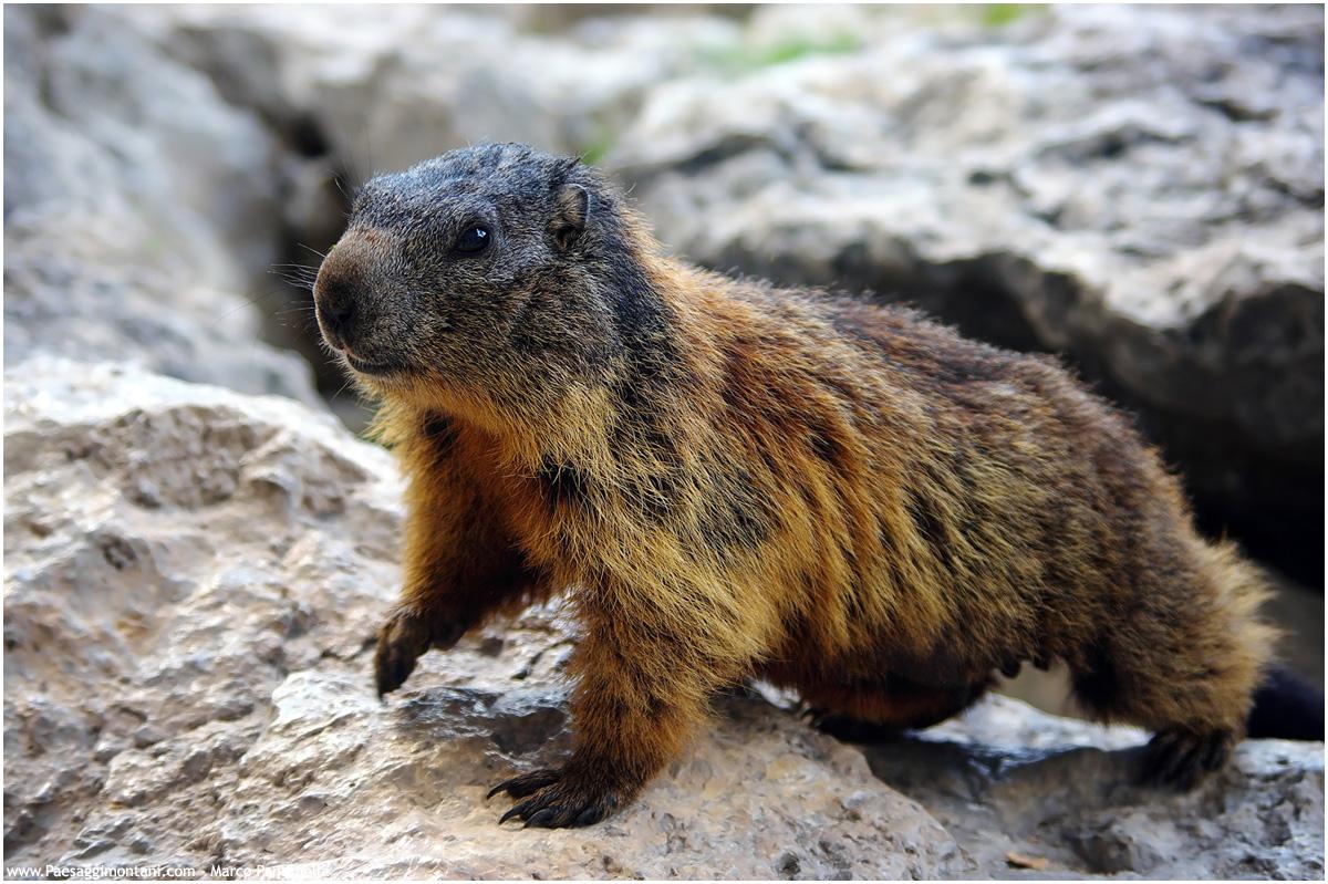 Marmotta...