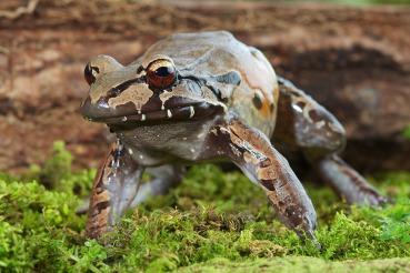 Leptodactylus pentadactylus