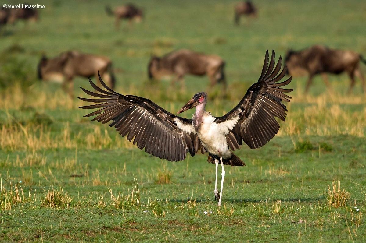 Marabou Stork...