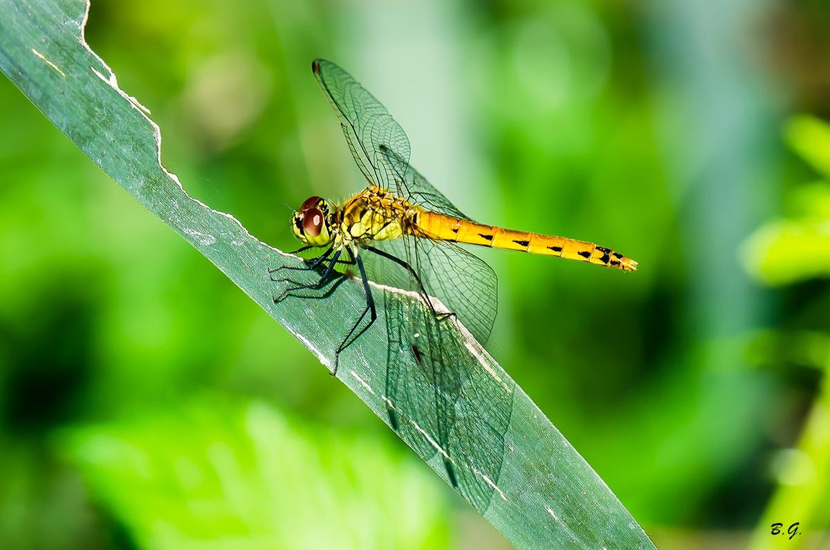 Golden dragonfly...