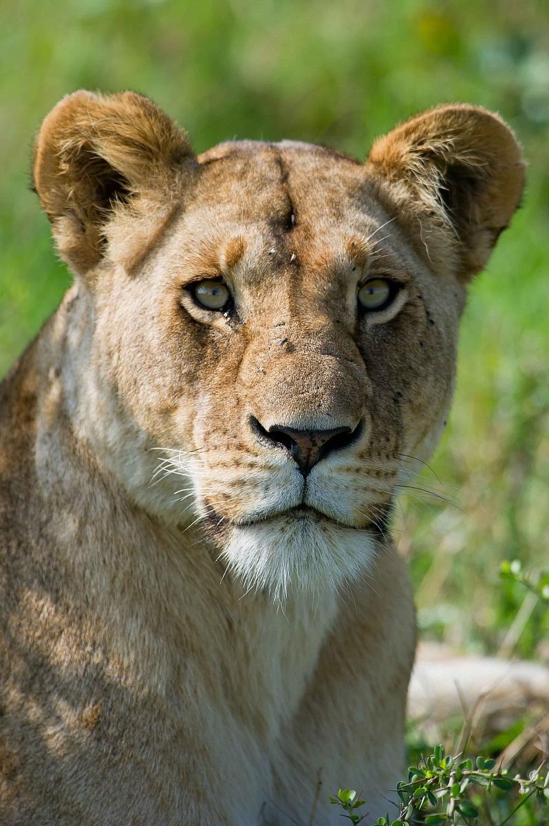 Ritratto di leonessa...