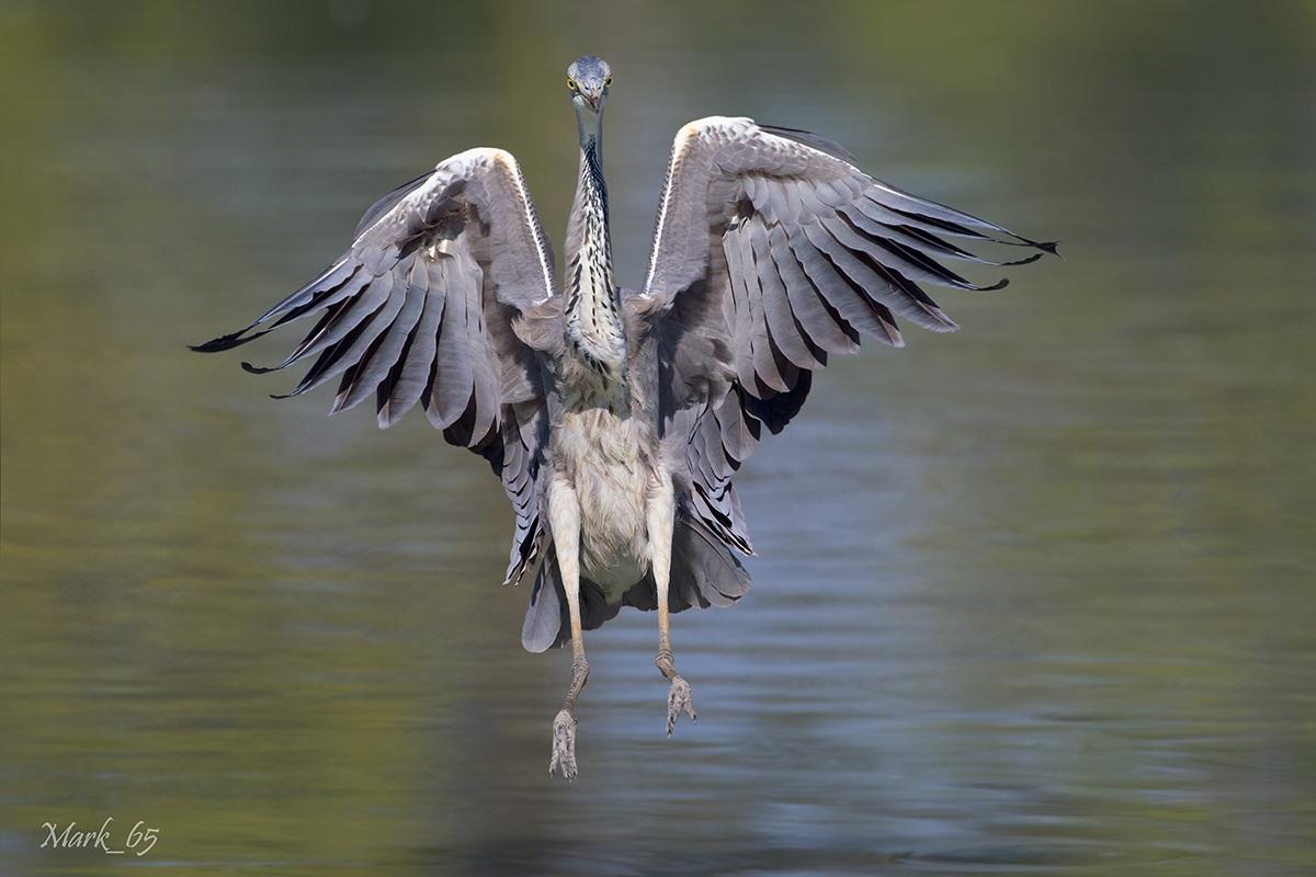 Heron incoming...