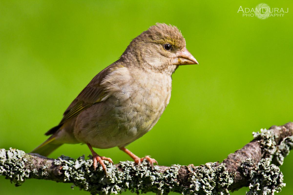 Greenfinch Chick...