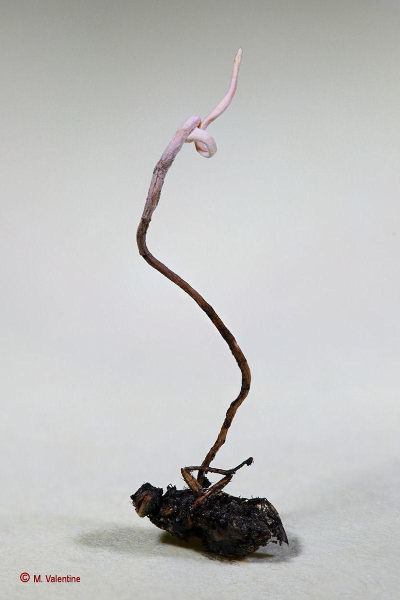 Hymenostilbe muscaria...