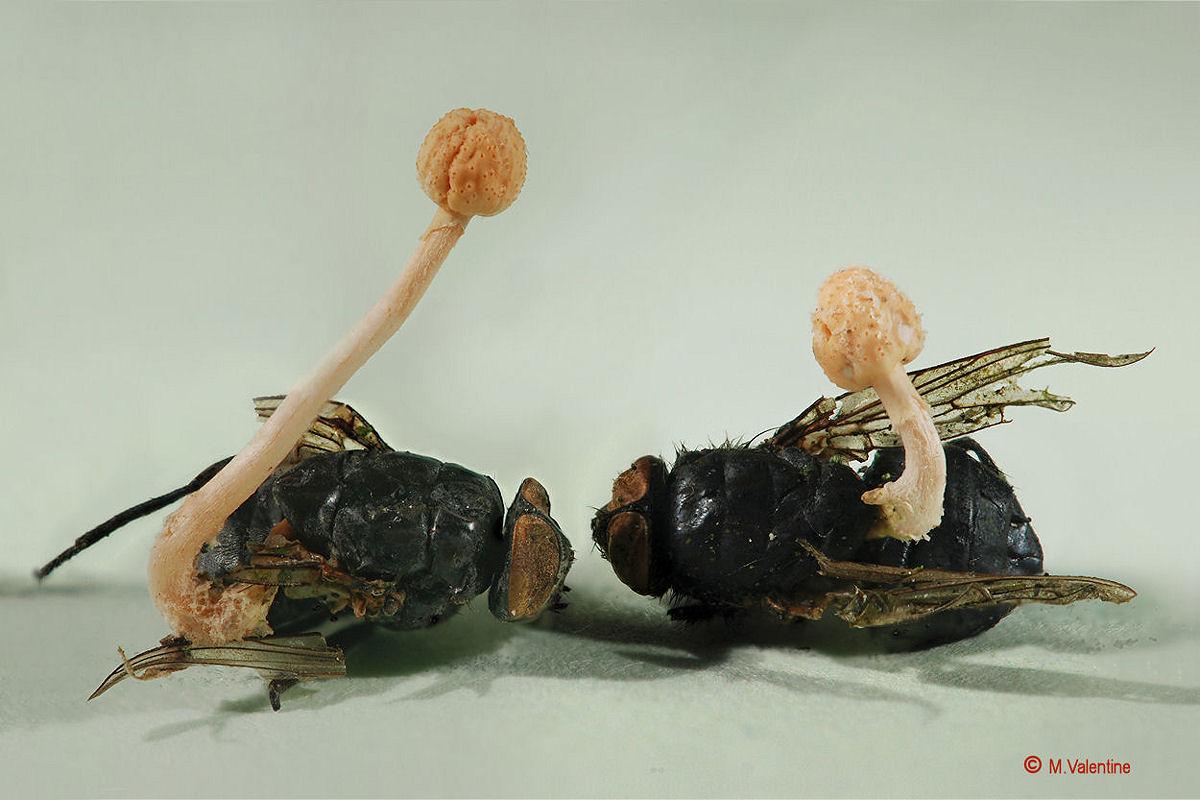 Ophiocordyceps ditmarii...