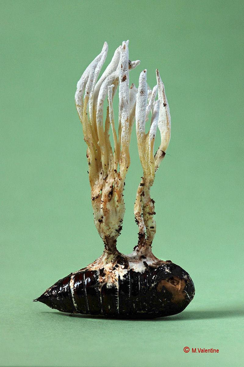 Isaria farinosa...