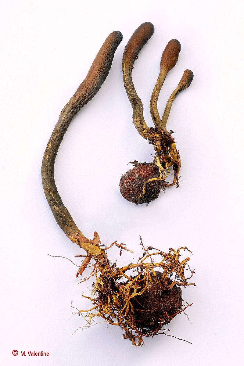 Snaketongue Truffleclub - Cordyceps ophioglossoides...