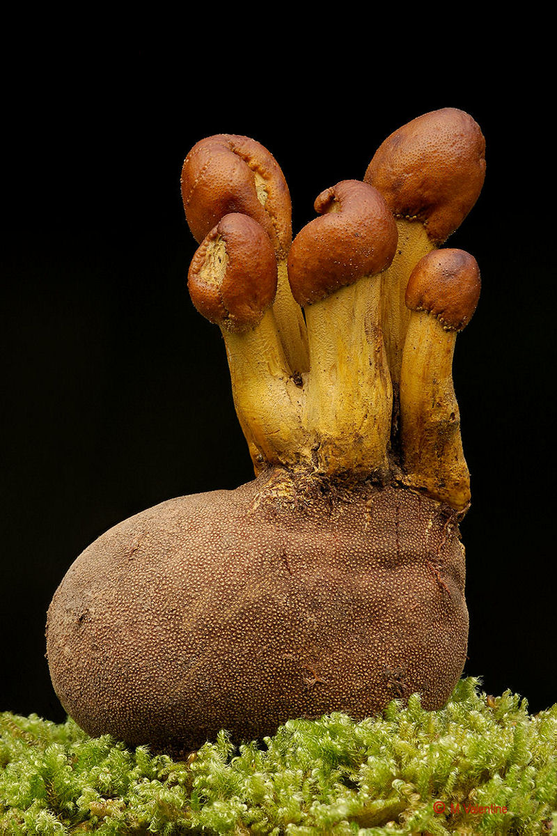 Drumstick Truffleclub - Elaphocordyceps capitata...