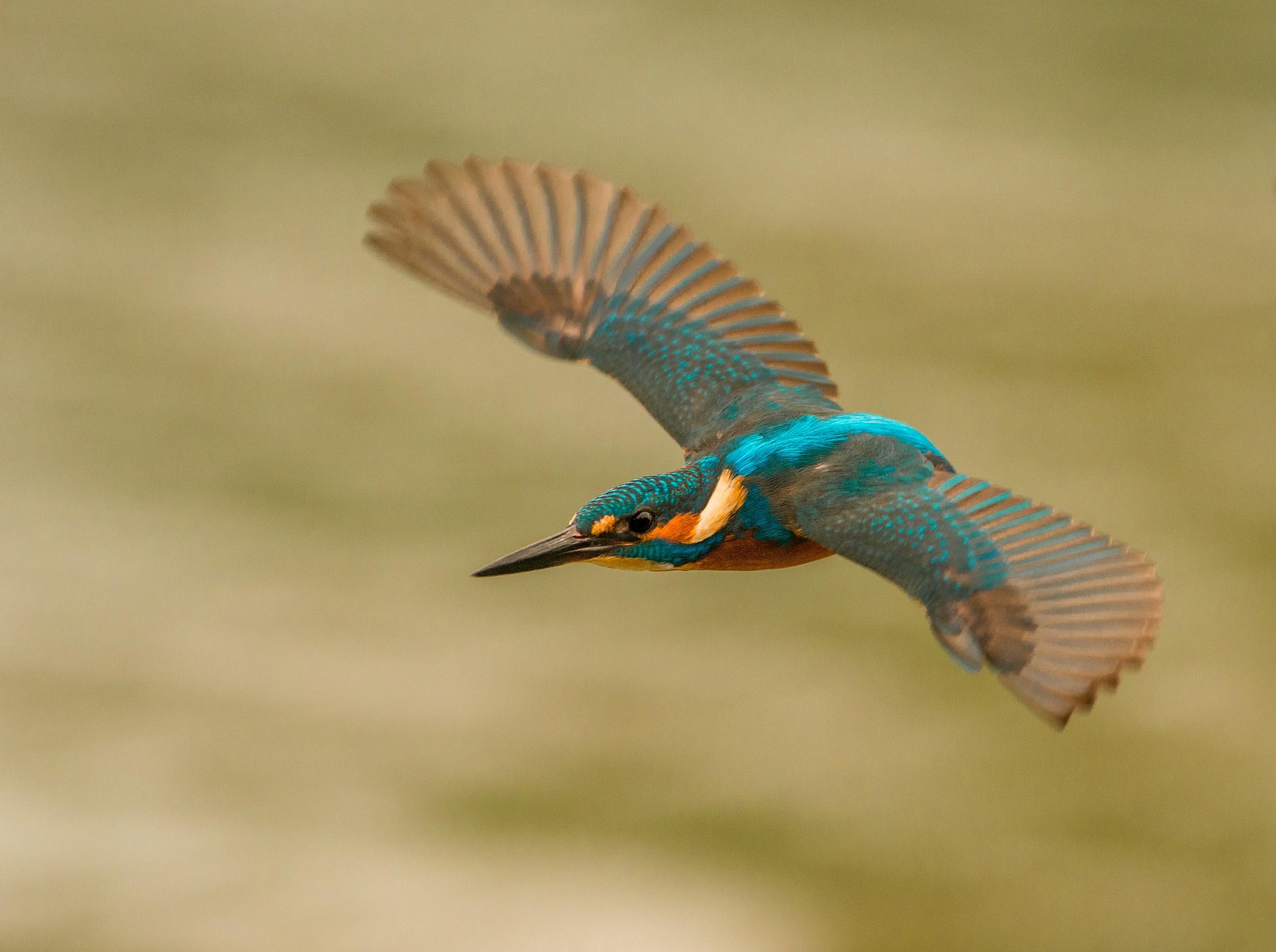 Kingfisher in flight...