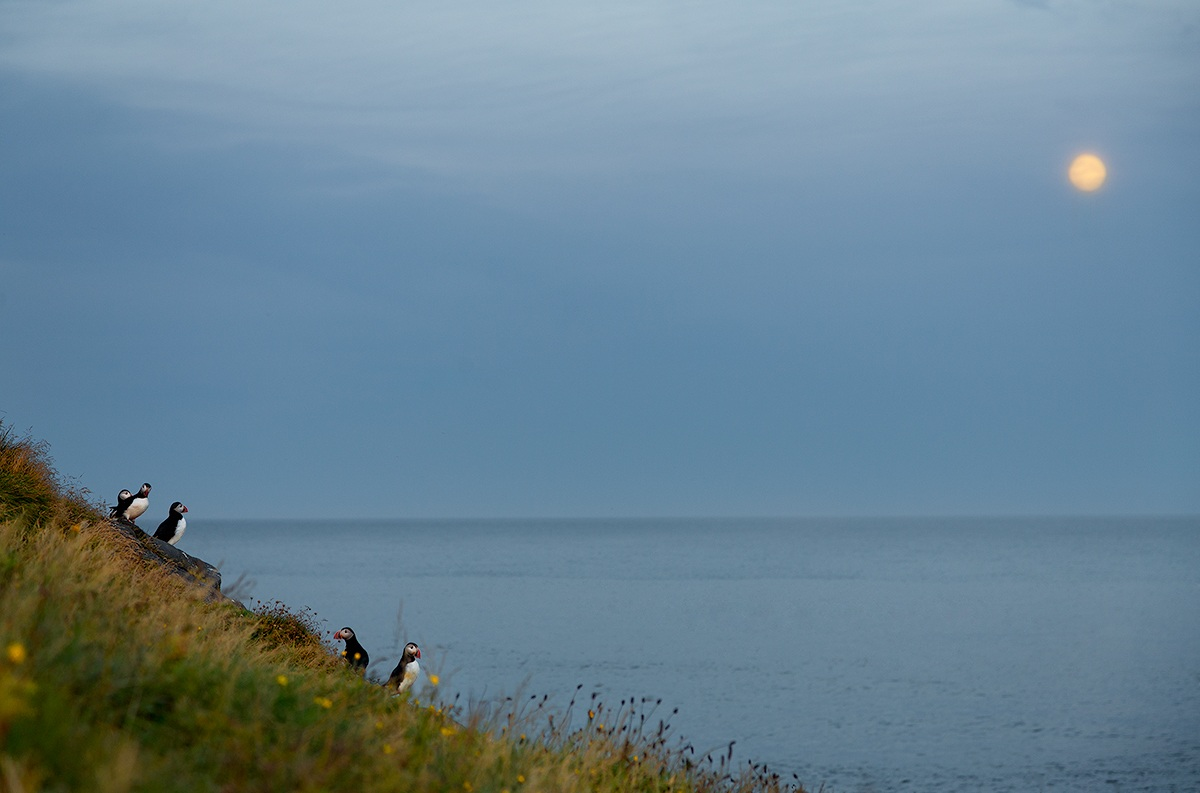 and when darkness falls, the puffins watching the moon...
