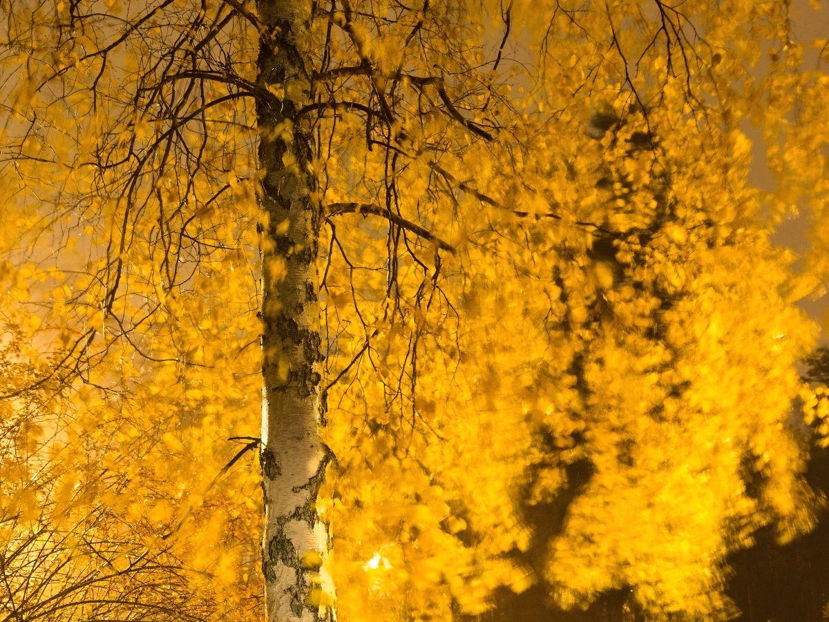 Betulla con foglie d'oro...