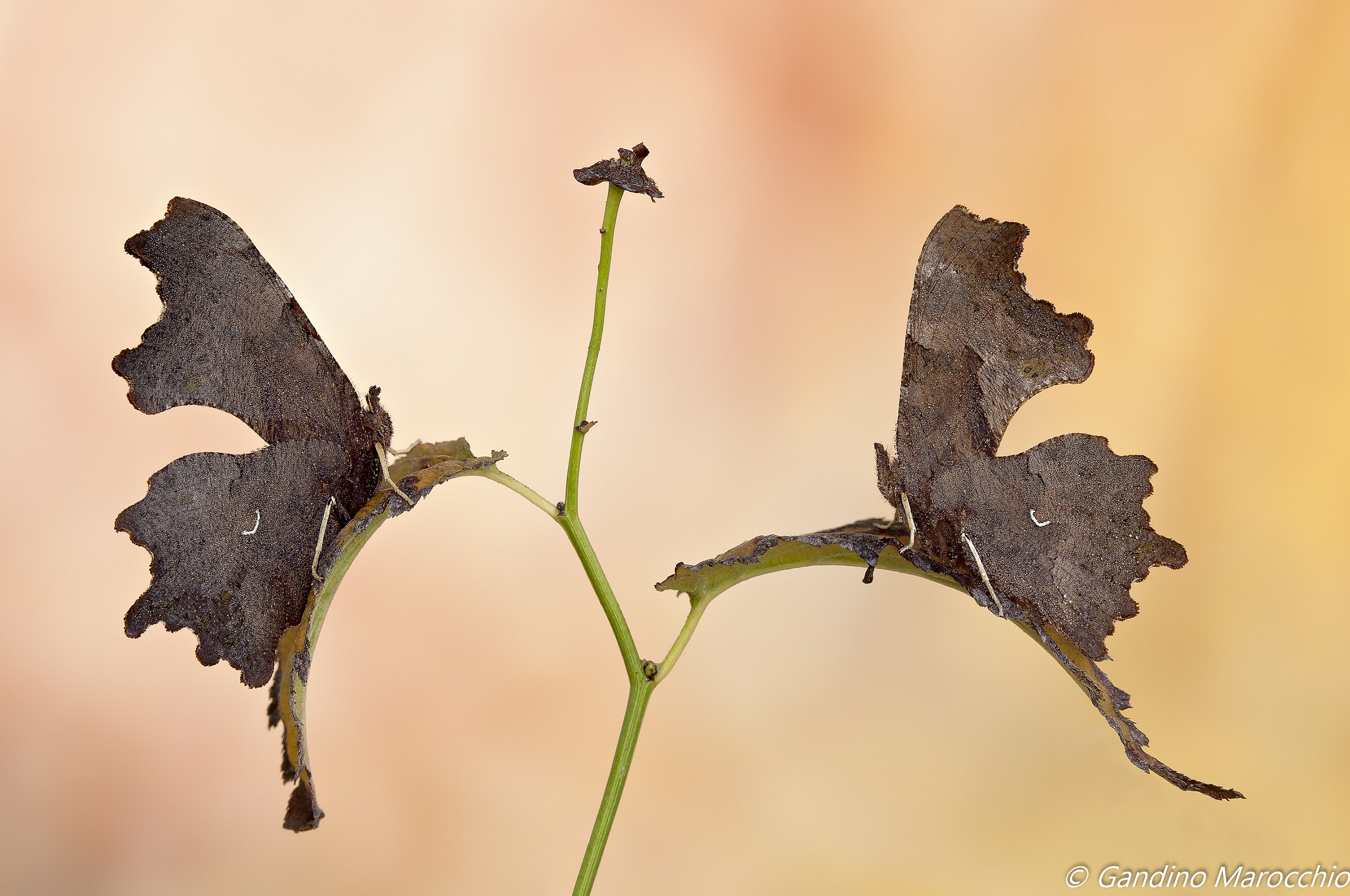 The two leaves (polygonia c-album)...