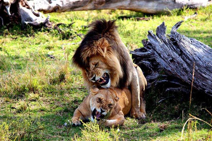 Mating Lions...
