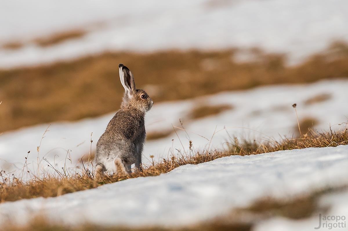 hare - Lepus timidus...