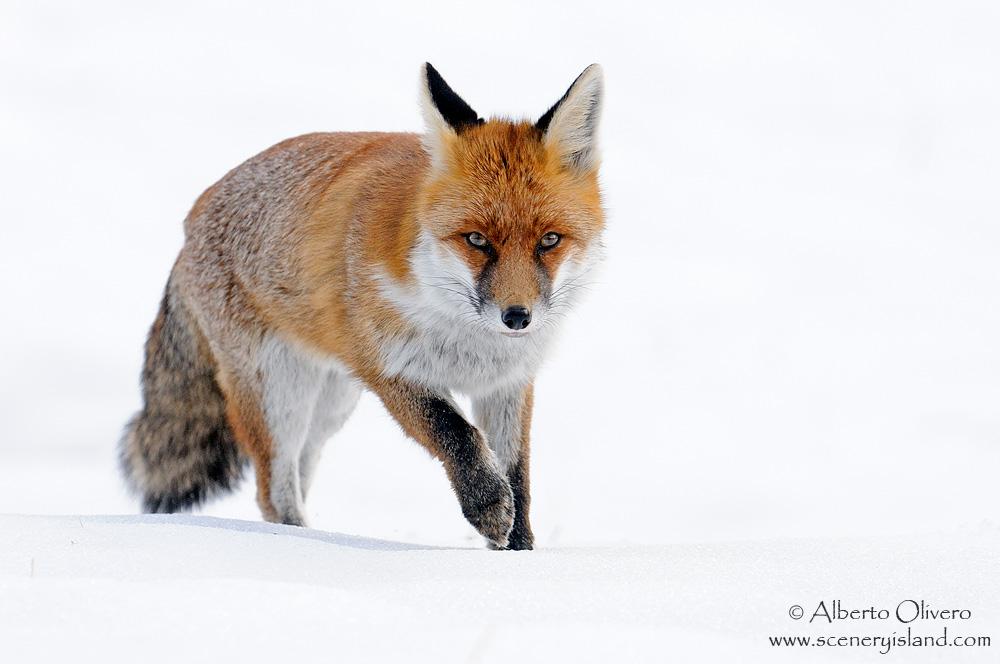 Fox (Vulpes vulpes)...