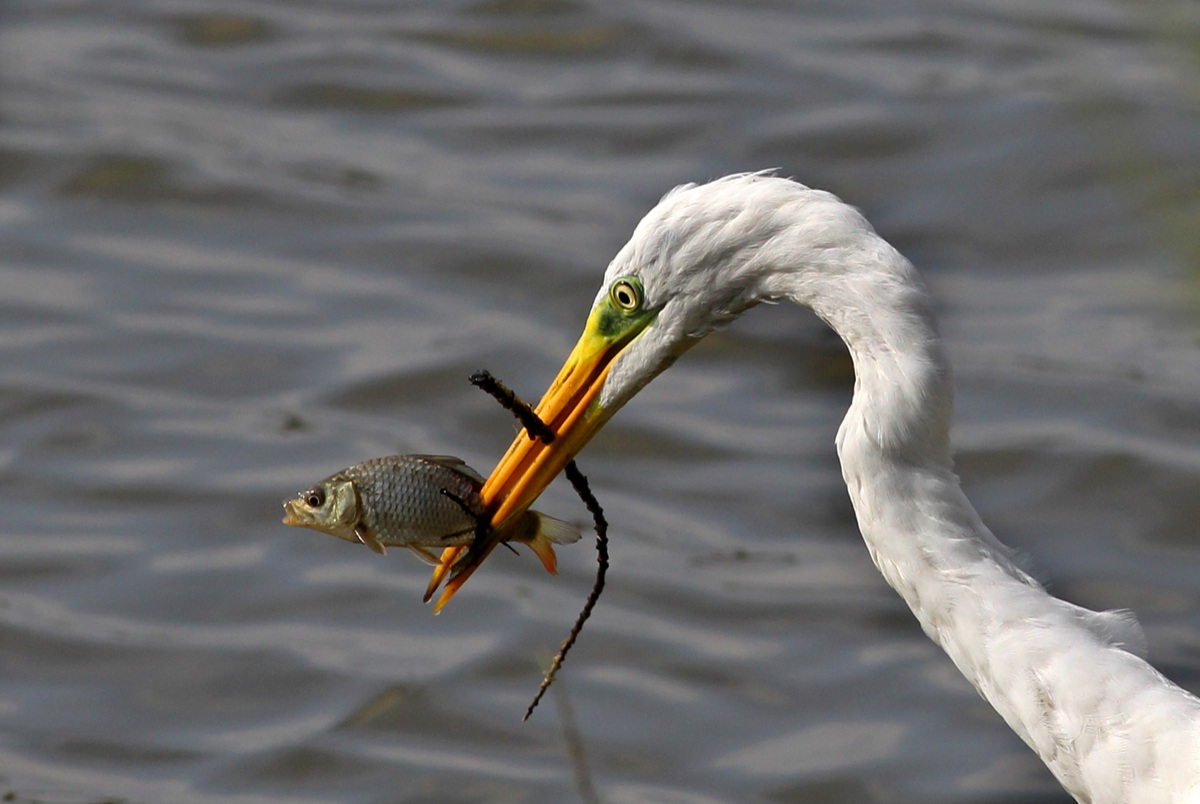Great Egret with prey...