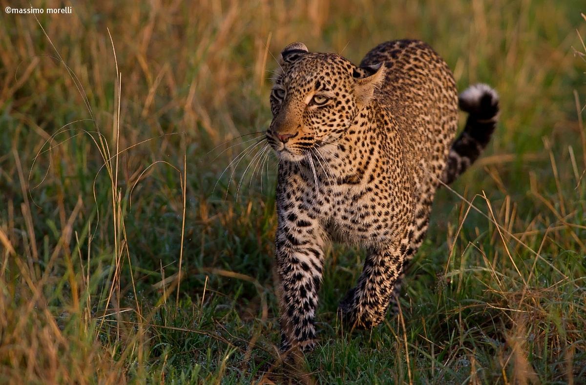 Il leopardo...