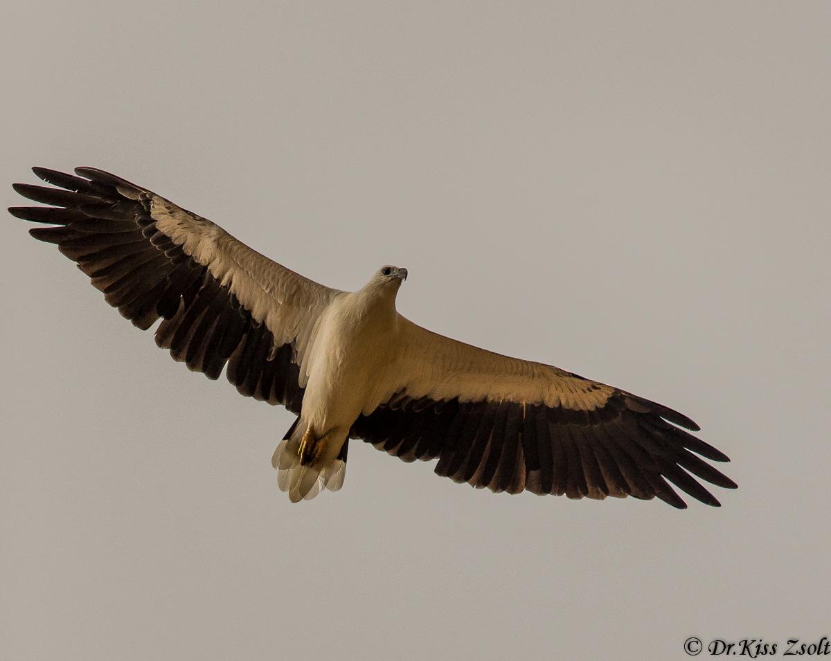 White-bellied sea eagle...