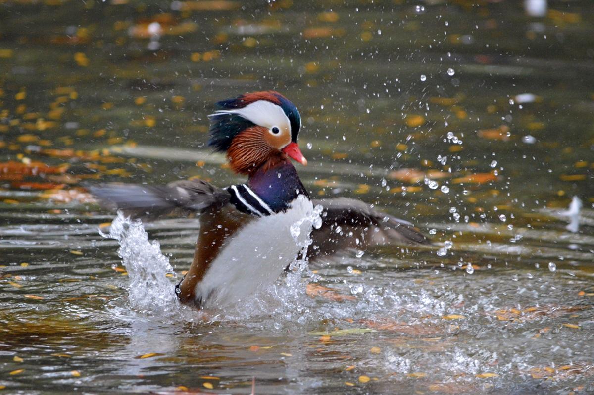 Mandarina Duck...