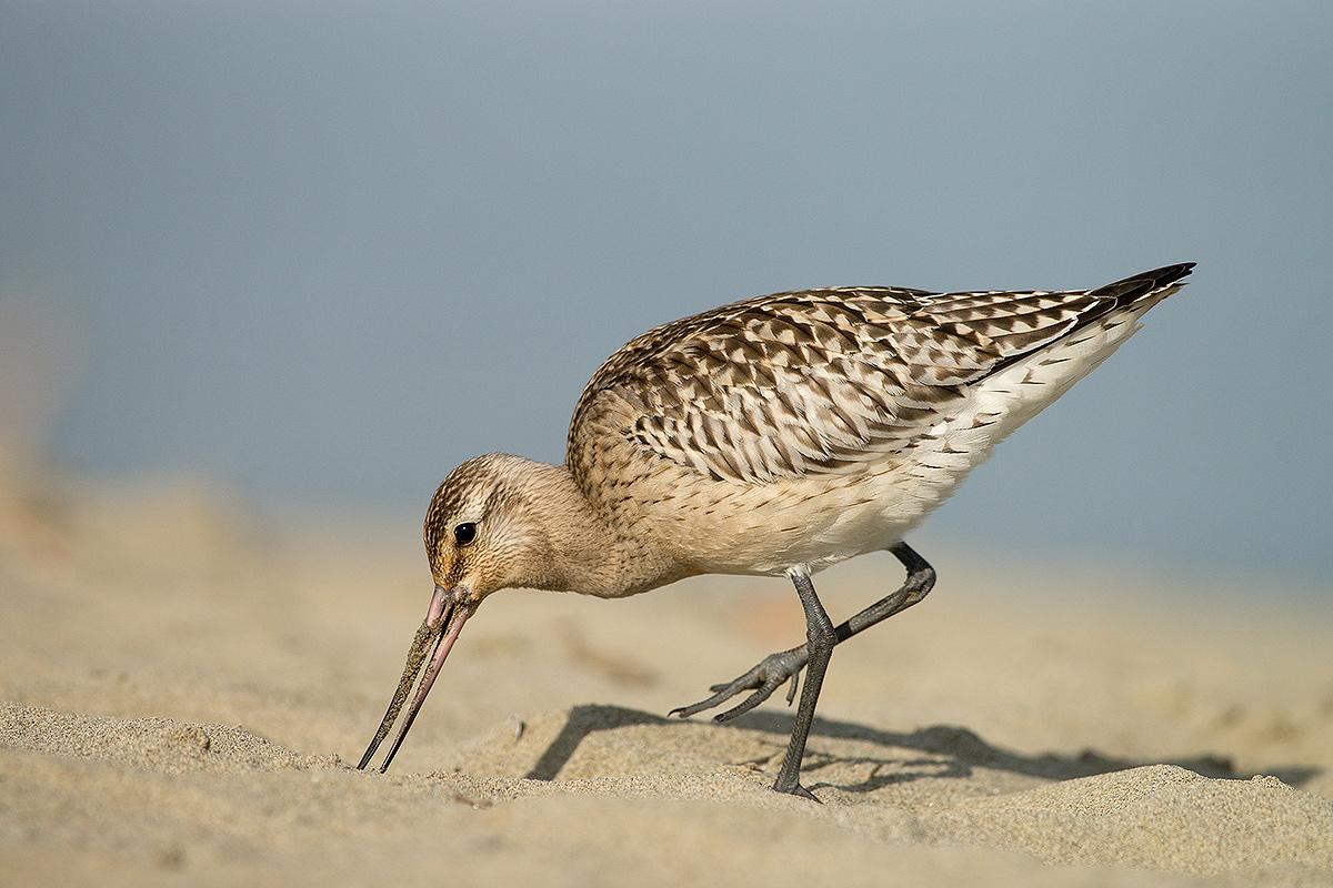 Bar-tailed Godwit...