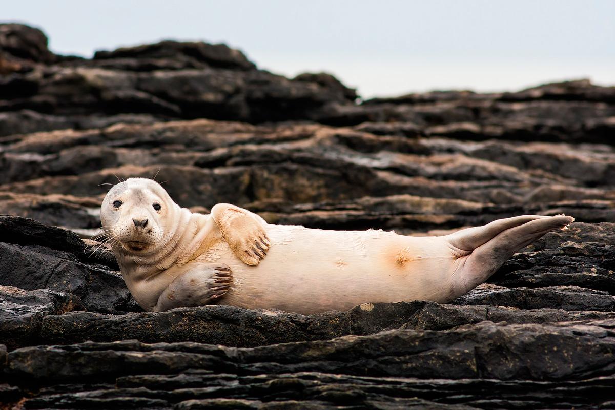Grey Seal Pup...
