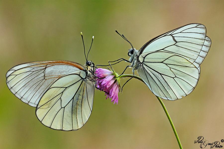 Pair of Aporia...