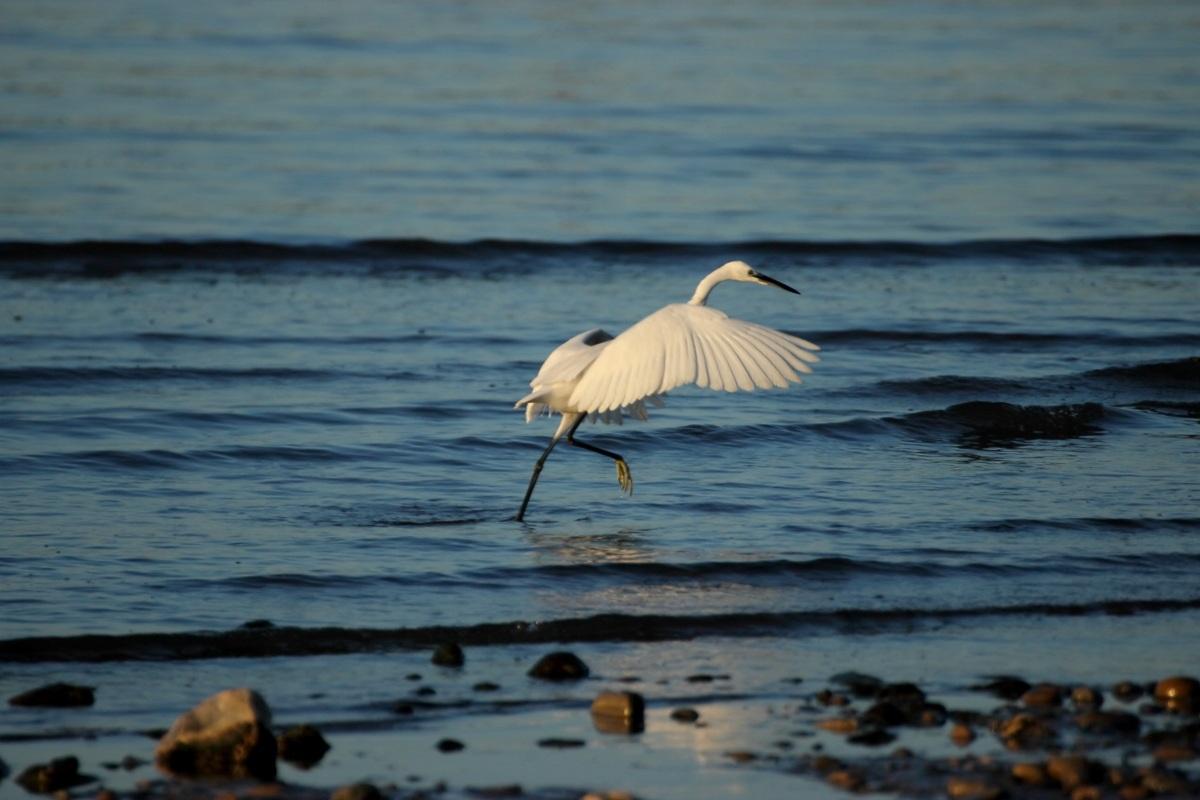 Egret in flight....