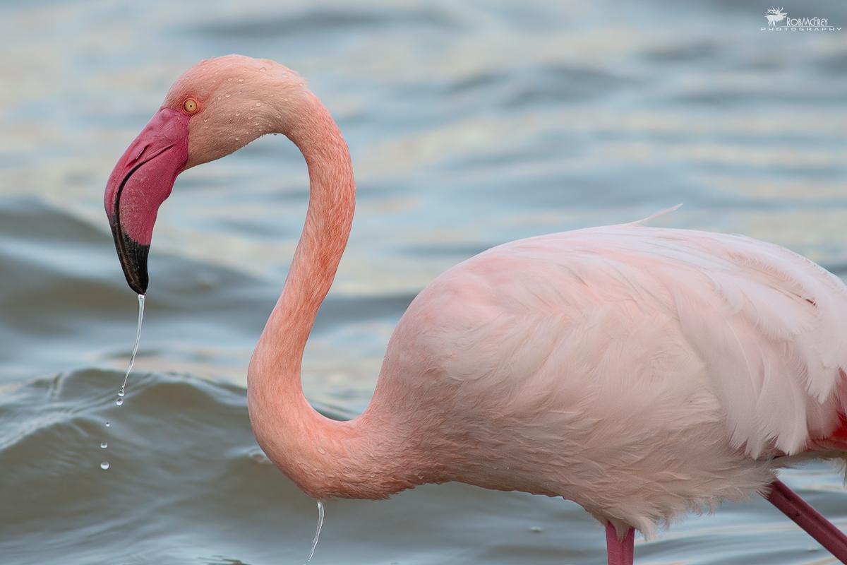 Pink Flamingo...