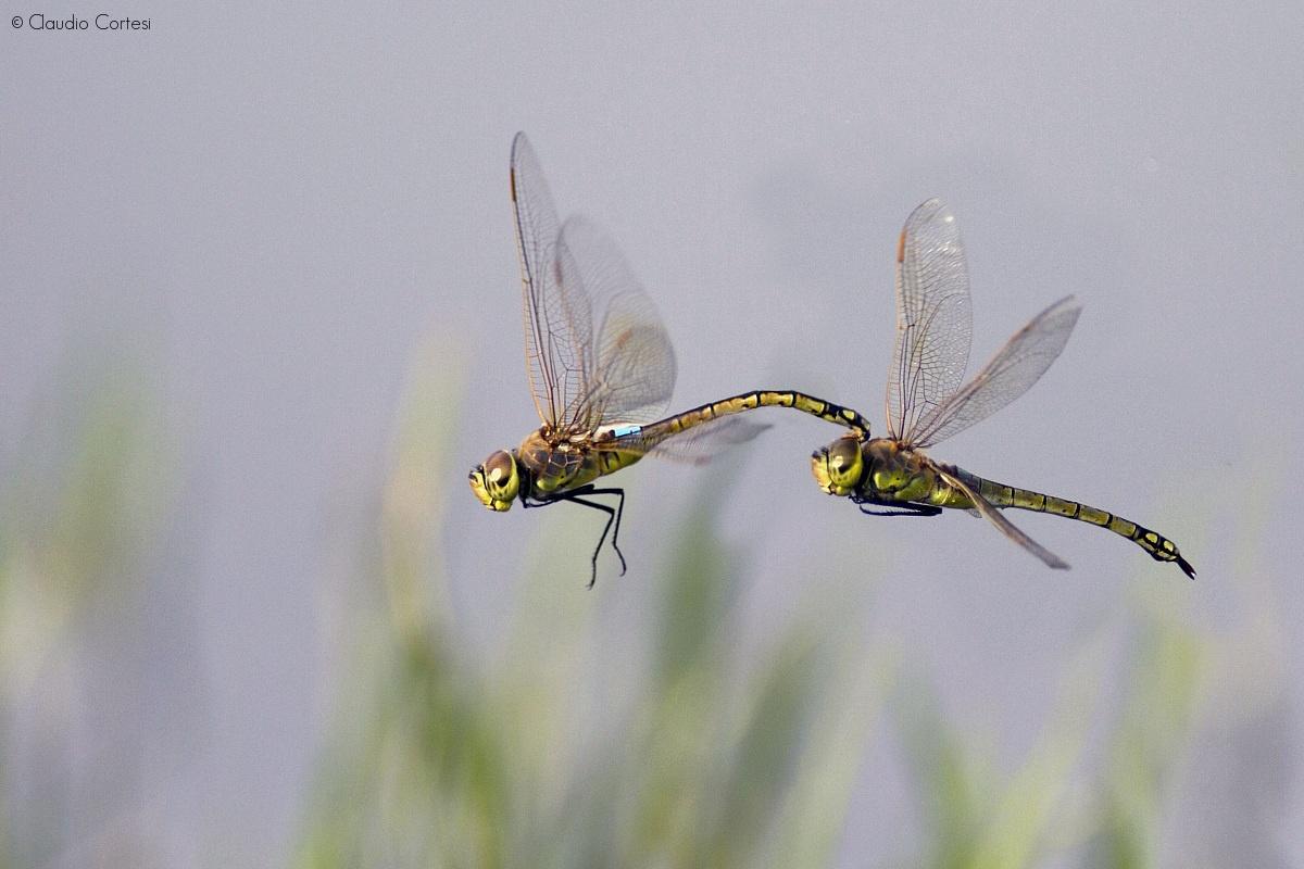 dragonflies in flight - couple...