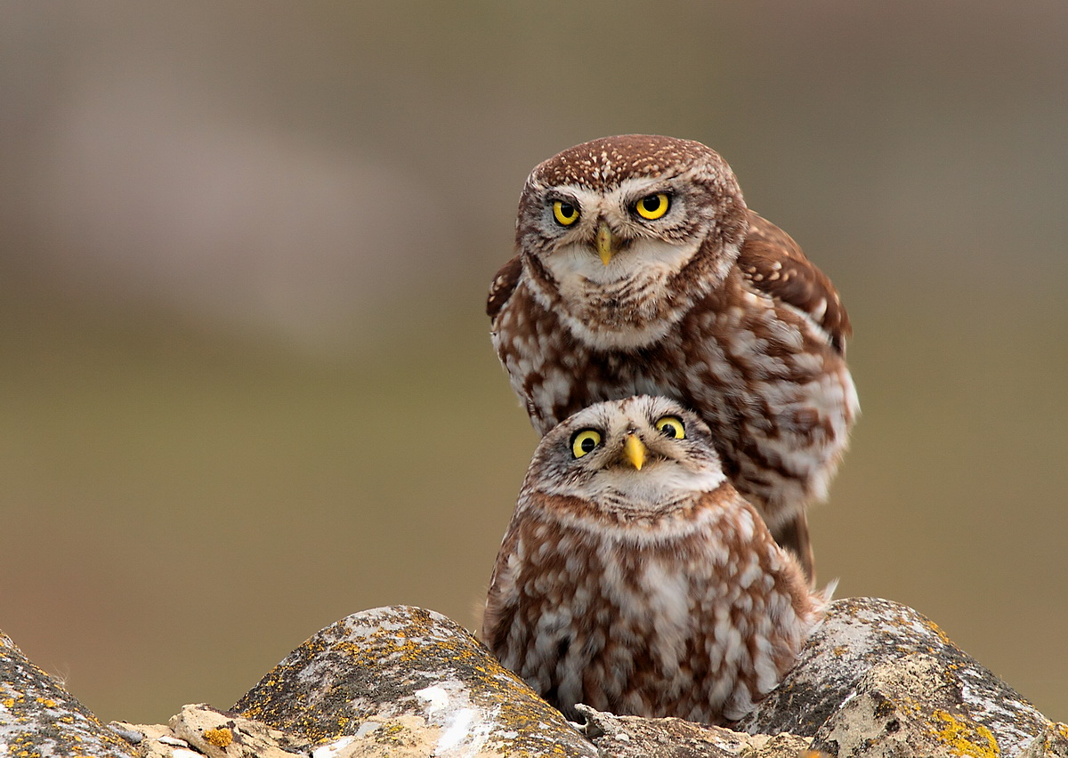 owls in coupling...