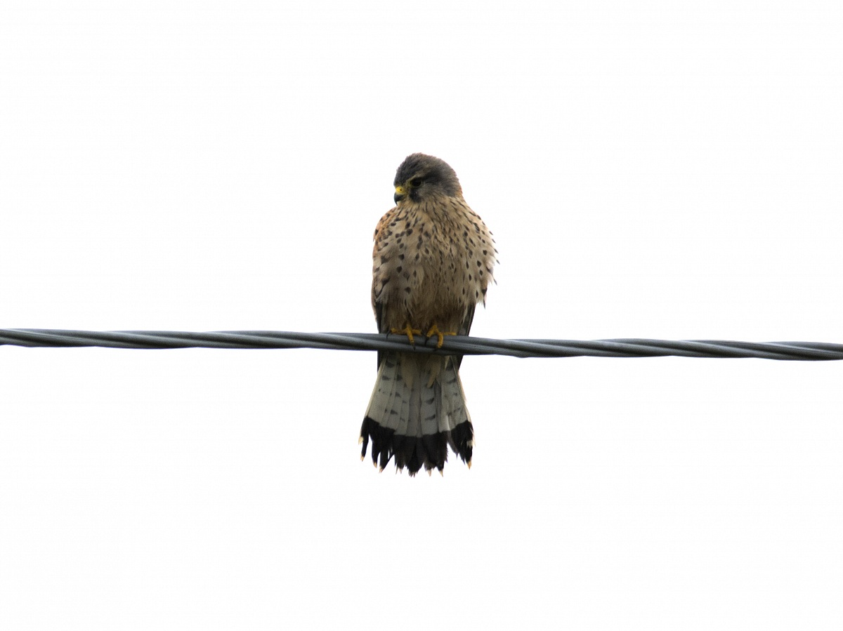 Hawk...