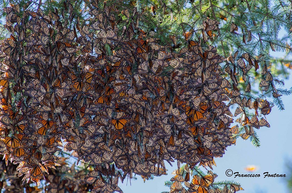 Meravigliosamente farfalle...