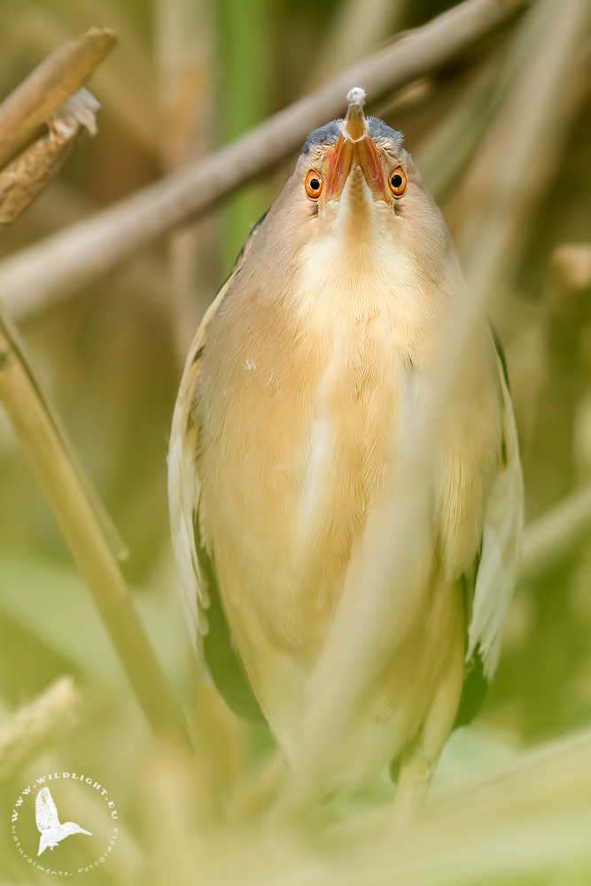 If I would be a little bittern ......