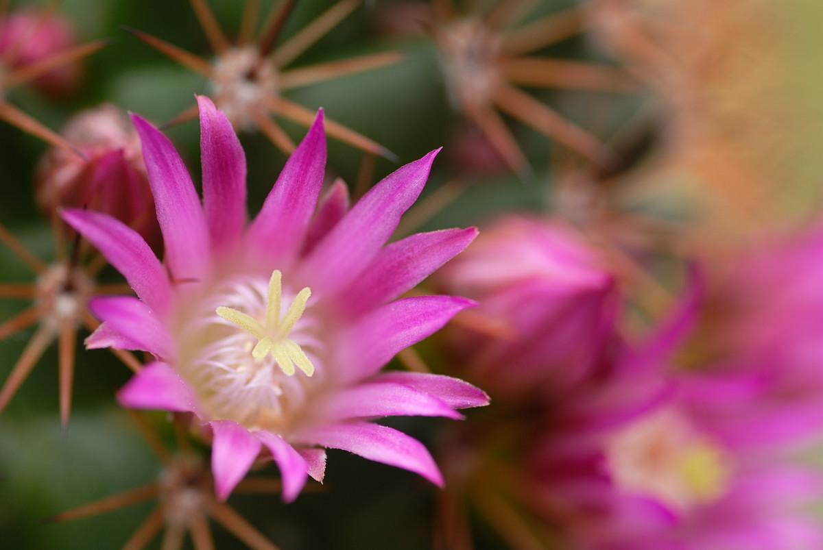 Mammillaria...