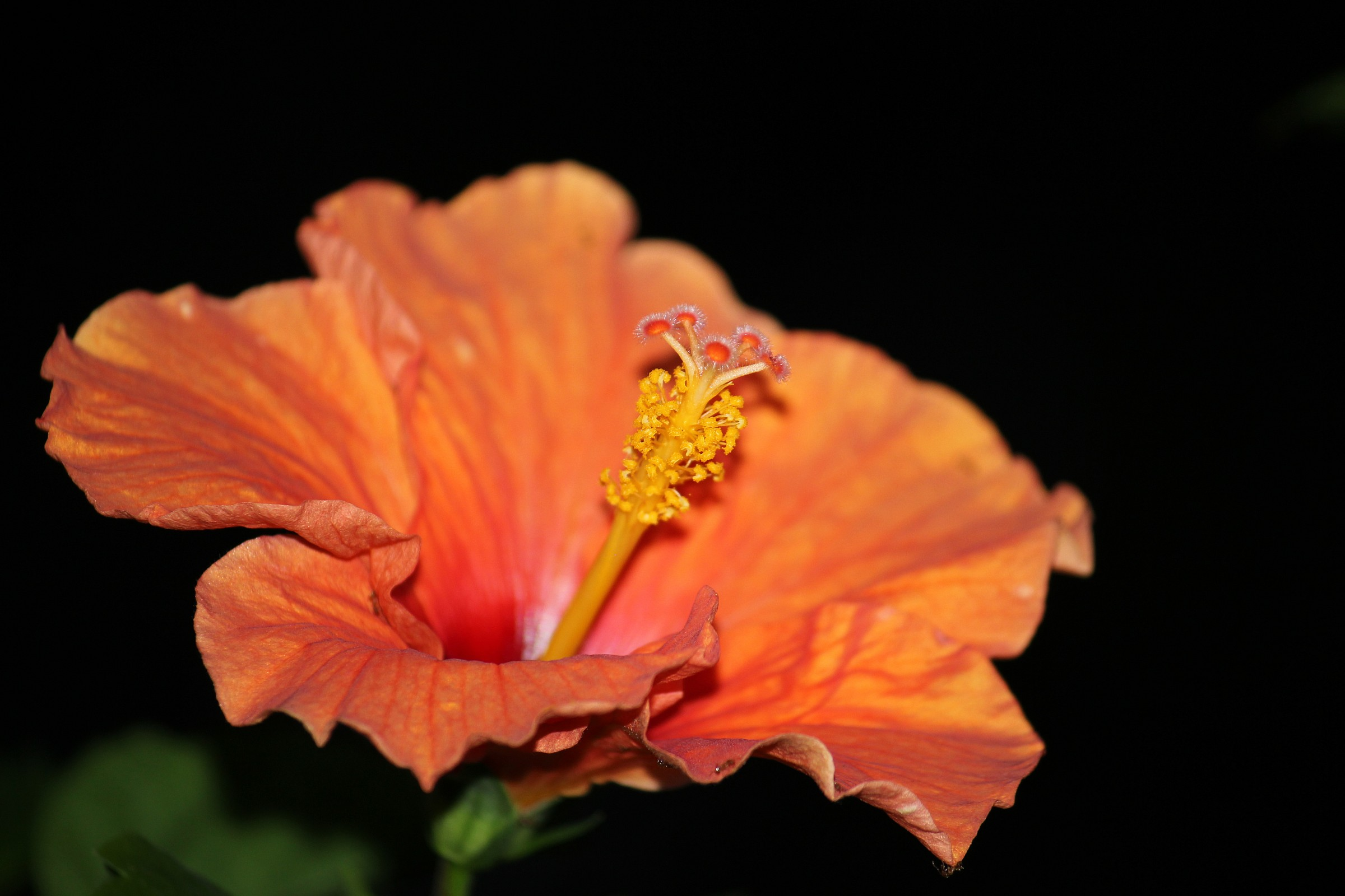 Hibiscus Orange...