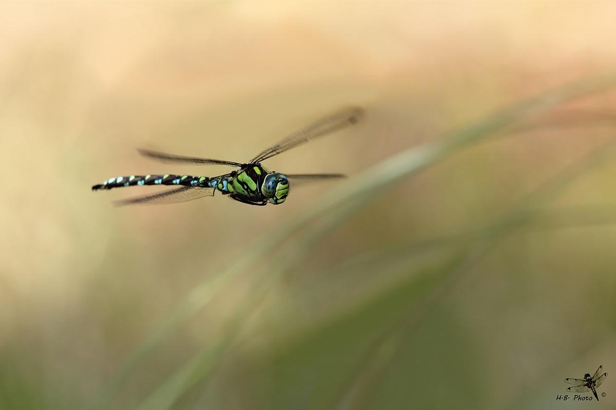 Flight in the shade. Aeshna cyanea, male...