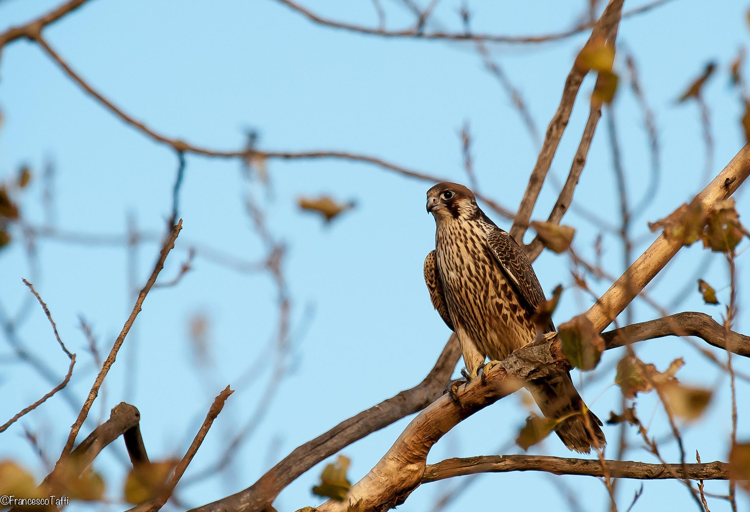 Lanner Falcon...