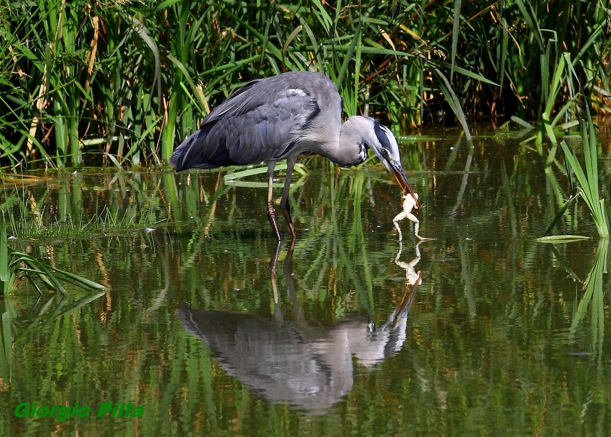 heron gives swimming lessons to the frog...