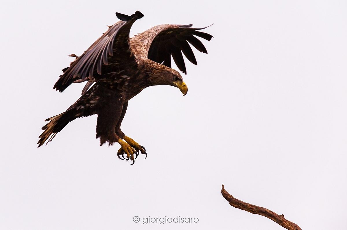 sea ??eagle...